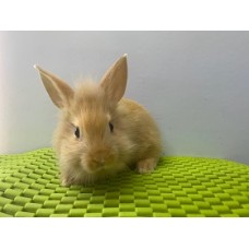 Lionhead Orange Female