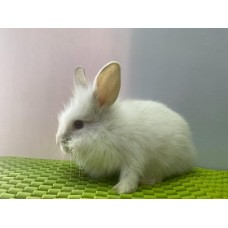 LionHead Frosted Male